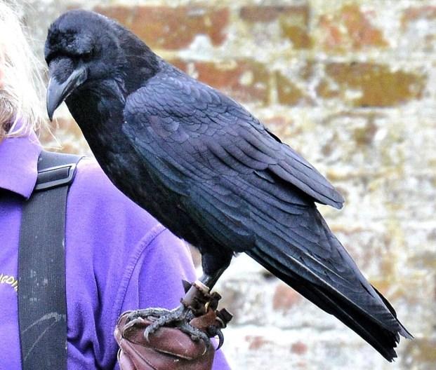 Raven DSC_0858