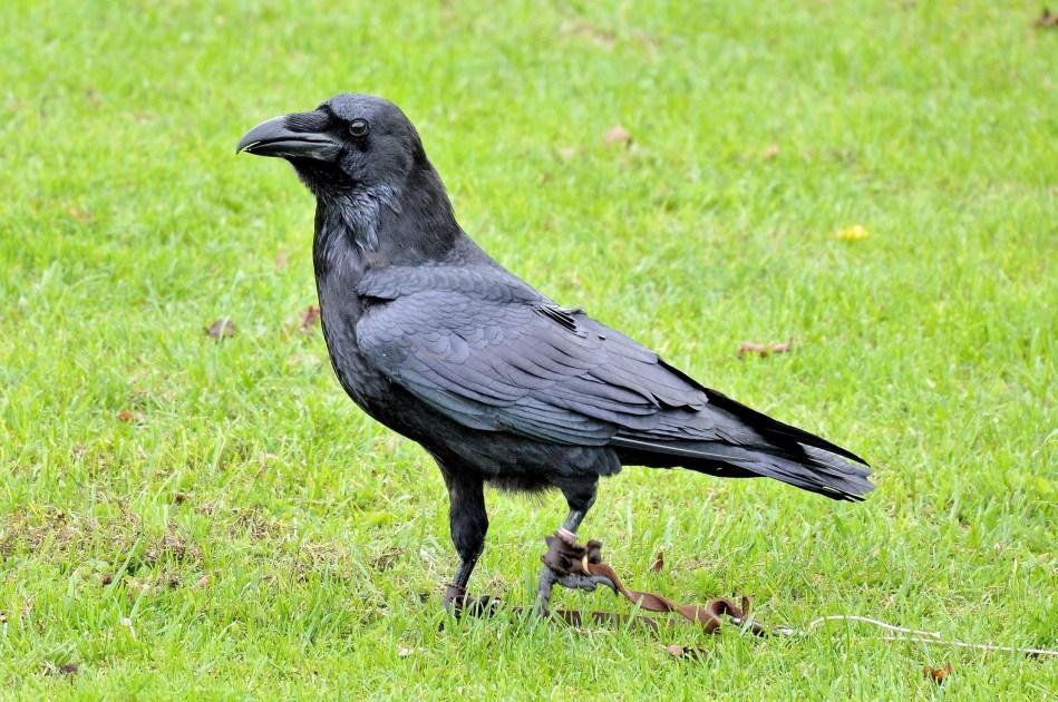 Raven DSC_0868