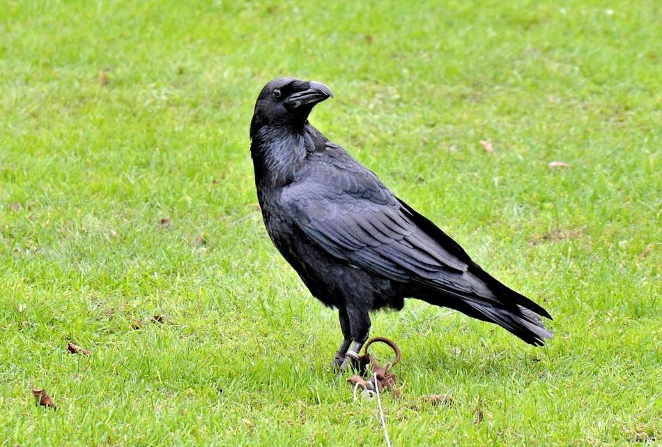 Raven DSC_0884