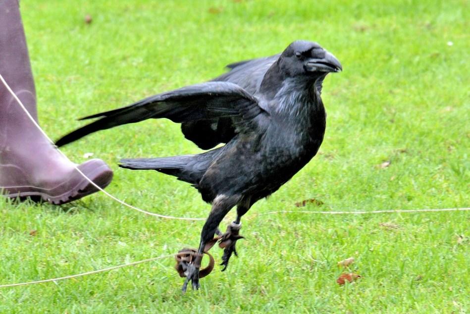 Raven Hopping DSC_0864