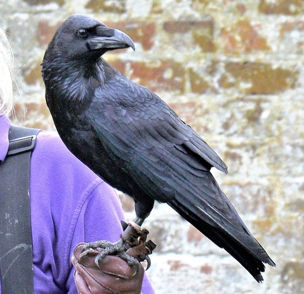 Raven Loki