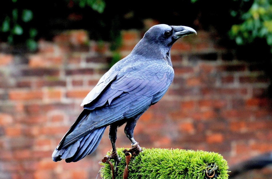 Raven Named Loki