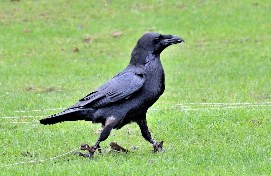 Raven Striding DSC_0874
