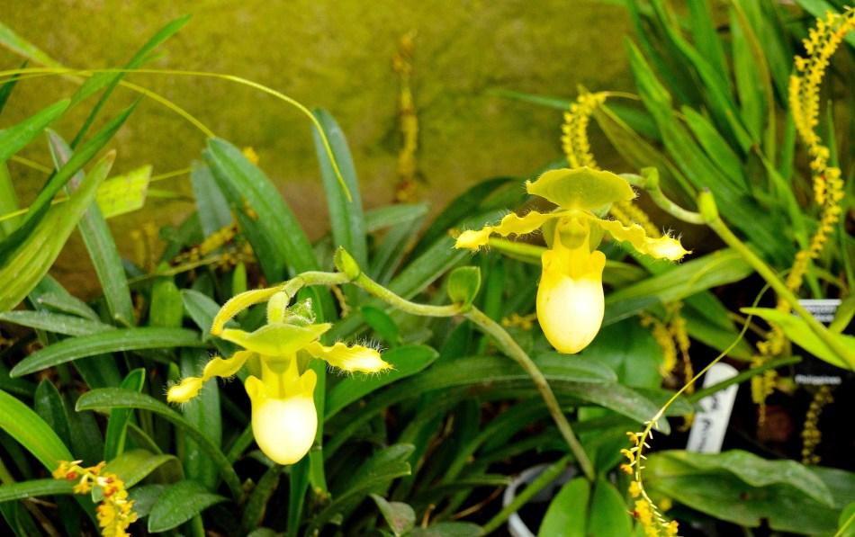 Wisley Orchids DSC_0031