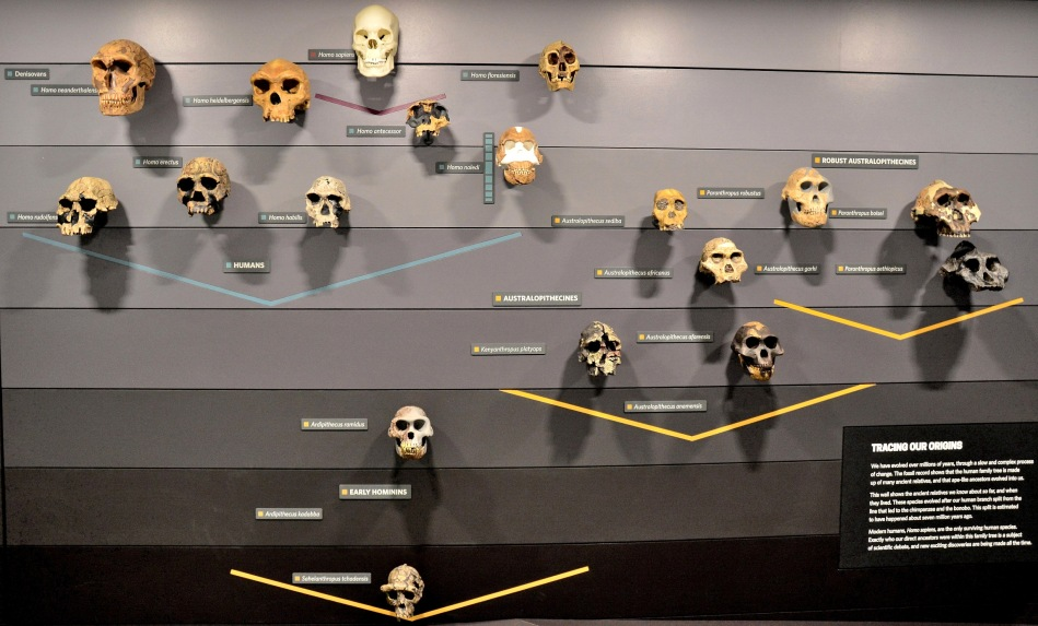 Human Evolution Skulls at the Natural History Museum
