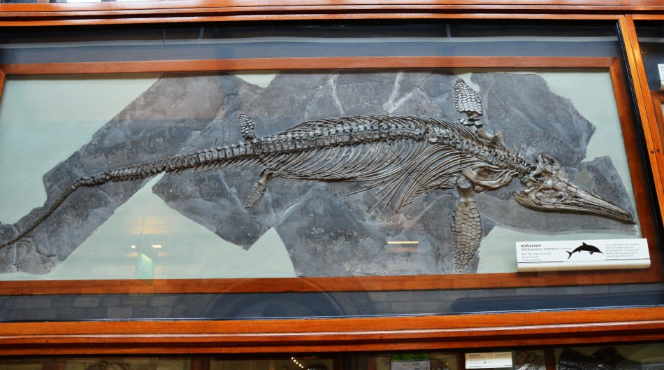Ichthysaurus Fossil at the Natural History Museum