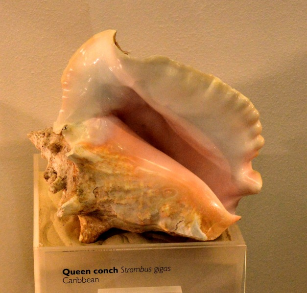 Queen Conch at the Natural History Museum