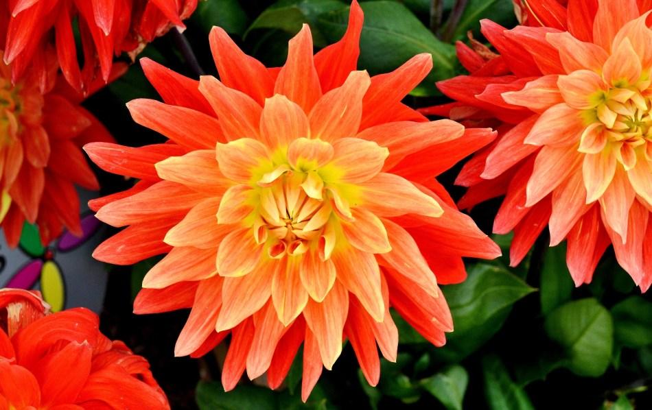 Wisley Flowers DSC_0289