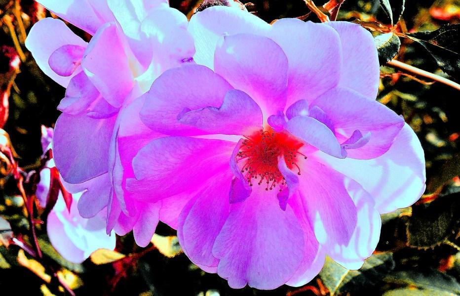 Wisley Flowers DSC_9722 - Enh.