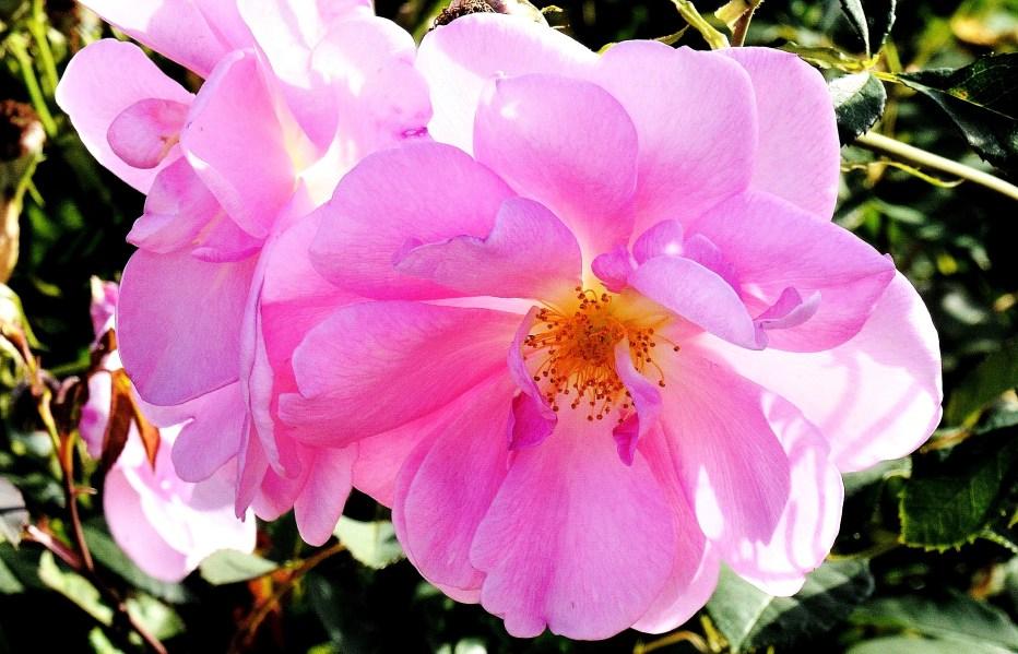 Wisley Flowers DSC_9722