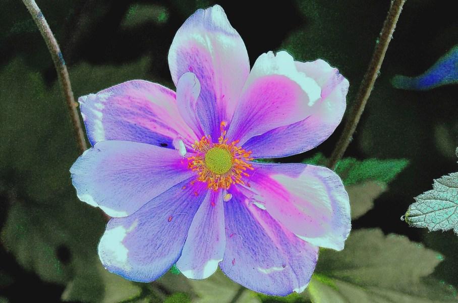 Wislry Flowers DSC_9513-2 - Enh