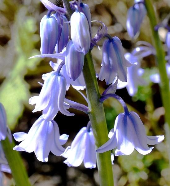 Burgh House Bluebells