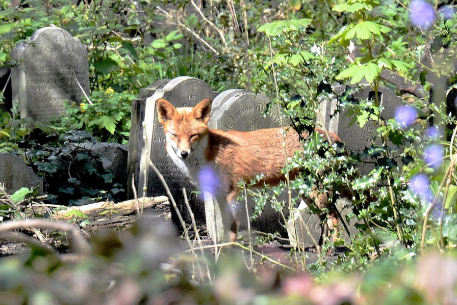 Fox in Tower Hamlets Cemetery Park