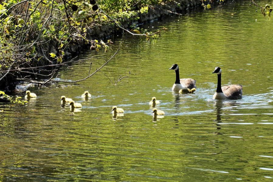 Clissold Park Canada Goose and Goslings DSC_3643