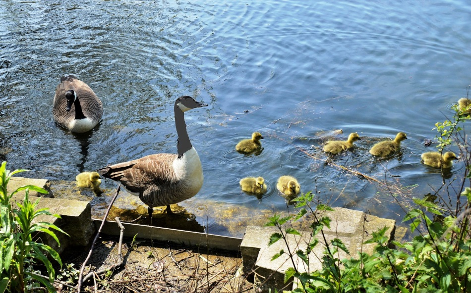Clissold Park Canada Goose and Goslings DSC_3667