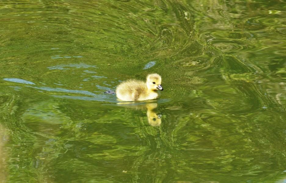 Clissold Park Canada Goose Gosling.DSC_3628