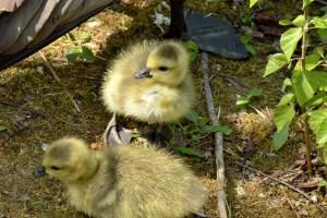 Clissold Park Canada Goose Goslings.DSC_3620