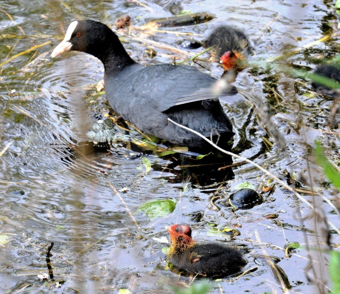 Clissold Park Coot and Chicks DSC_4042