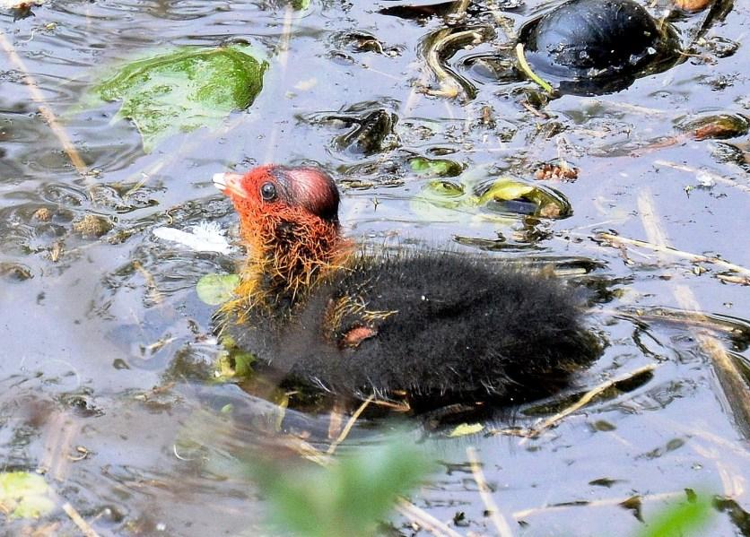 Clissold Park Coot Chick DSC_4042A