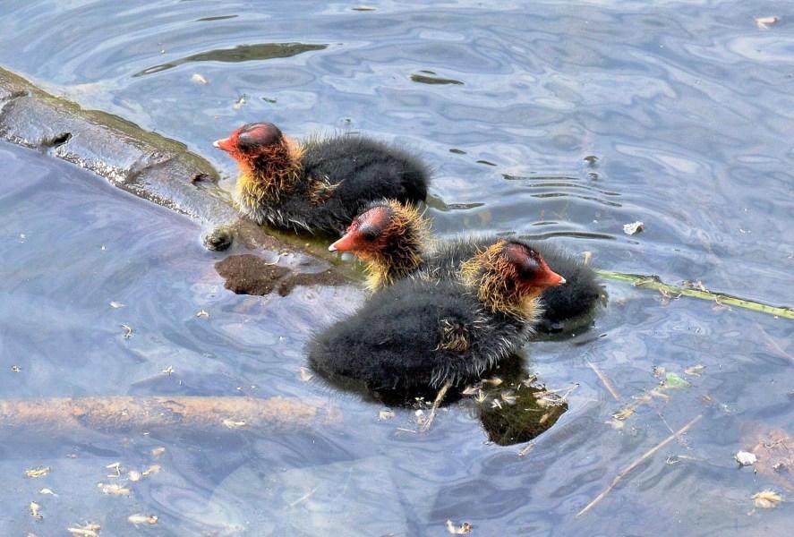 Clissold Park Coot Chick DSC_4050