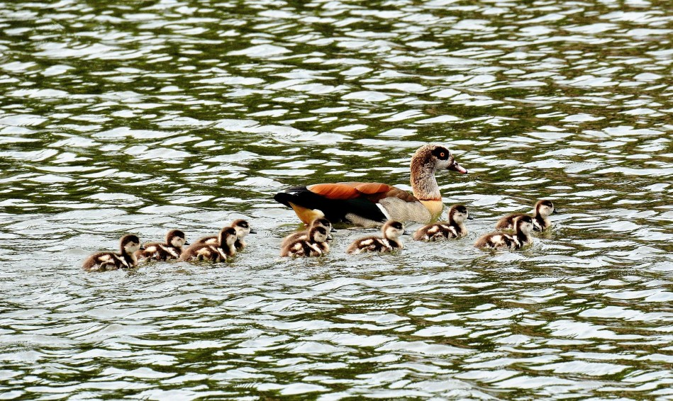 Clissold Park Egyptian Goose and Goslings DSC_3976