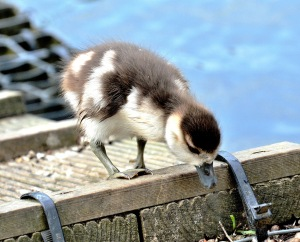 Clissold Park Egyptian Goose Gosling DSC_3928