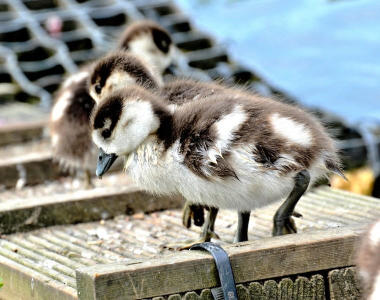 Clissold Park Egyptian Goose Gosling DSC_3929