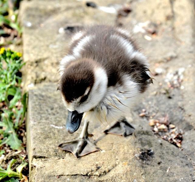 Egyptian Goose Gosling dsc_39321
