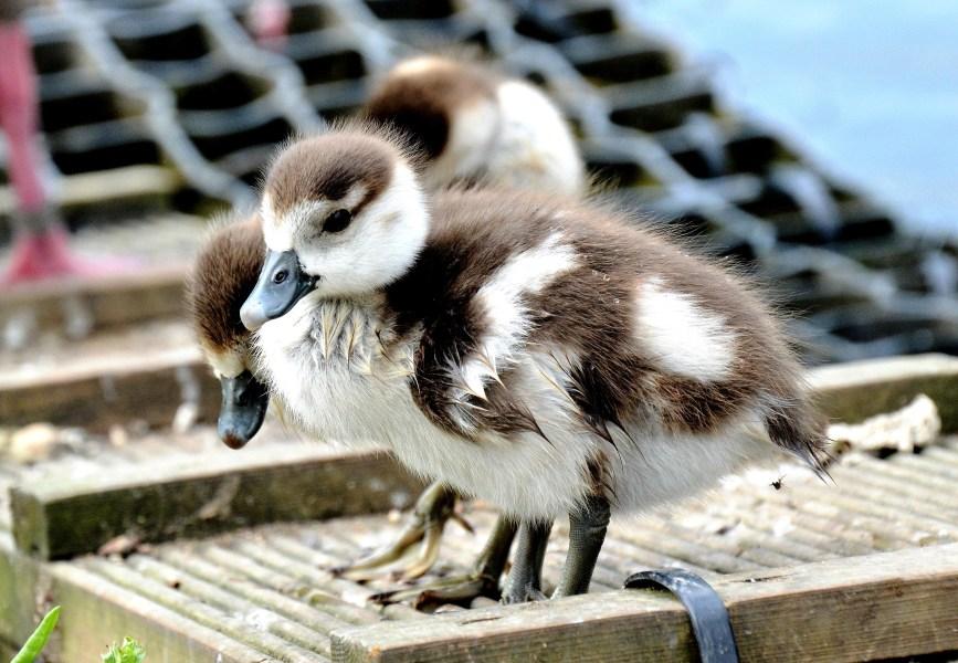 Clissold Park Egyptian Goose Gosling