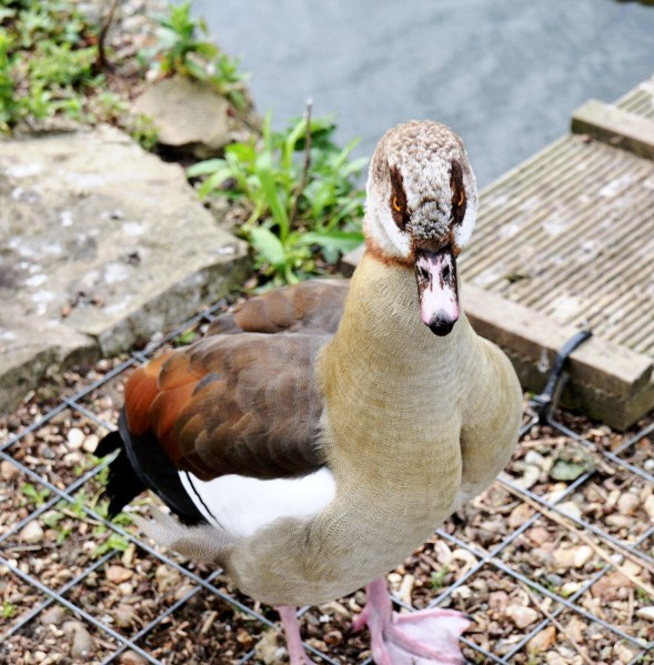 Clissold Park Egyptian Goose