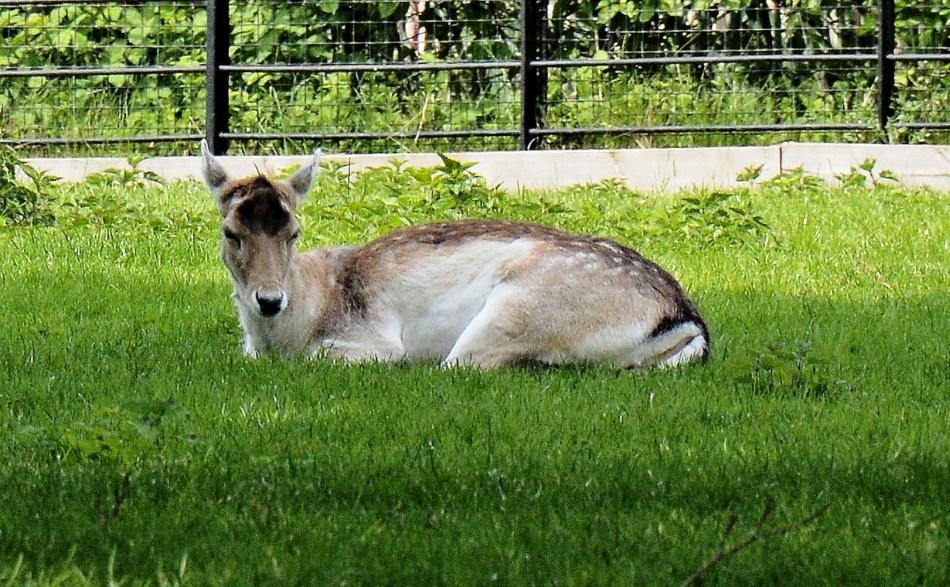 Clissold Park Fallow Deer