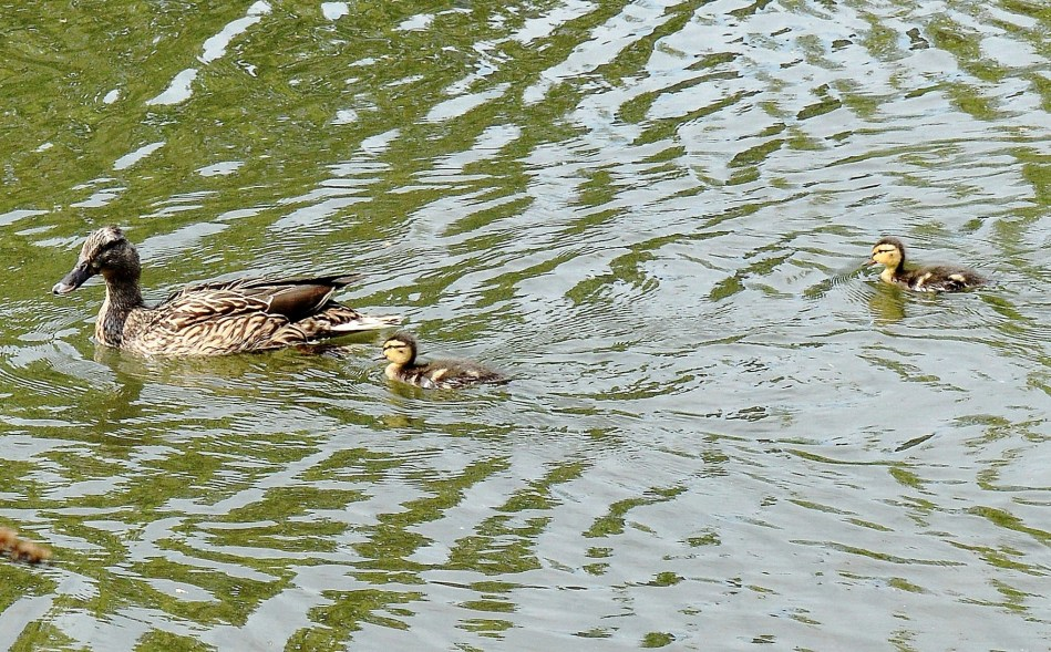 Clissold Park Female Mallard and Ducklings DSC_4033