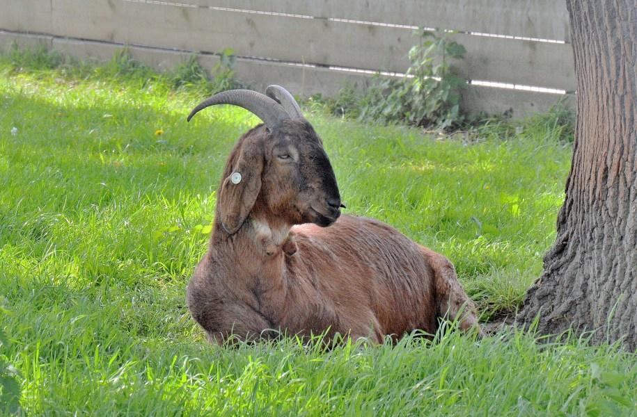 Clissold Park Goat