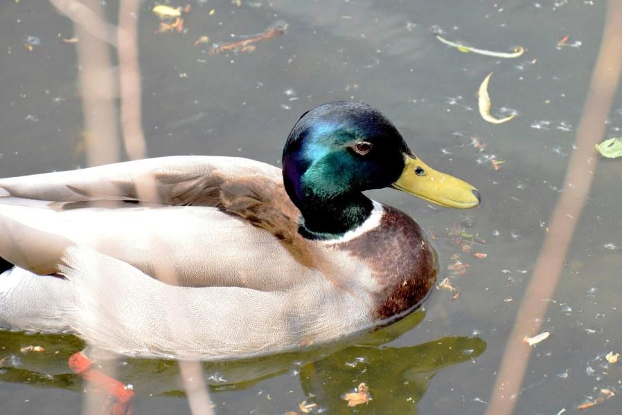 Clissold Park Mallard Duck DSC_4023