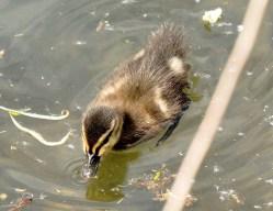 Clissold Park Mallard Duckling DSC_4017