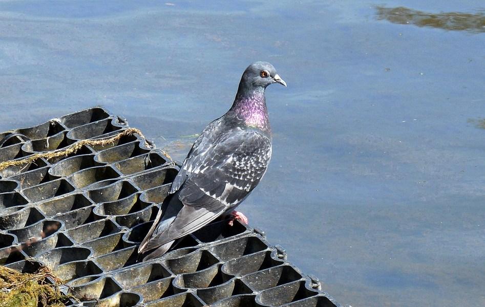 Clissold Park Pigeon