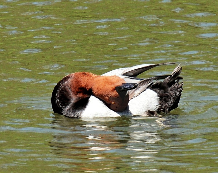 Clissold Park Redhead Duck DSC_3561-A
