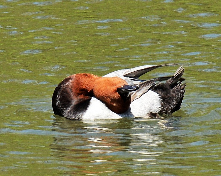 Clissold Park Redhead Duck DSC_3561