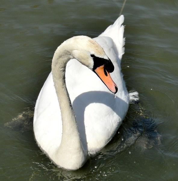 Clissold Park Swan