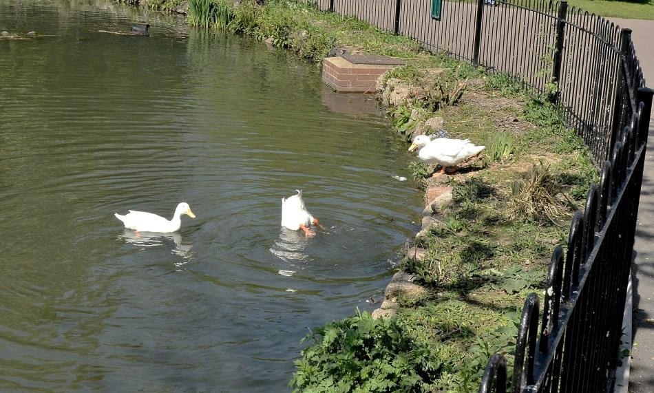Clissold Park White Ducks DSC_3601