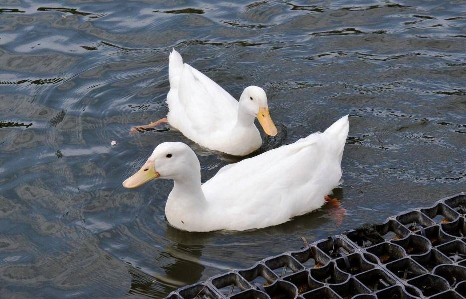 Clissold Park White Ducks