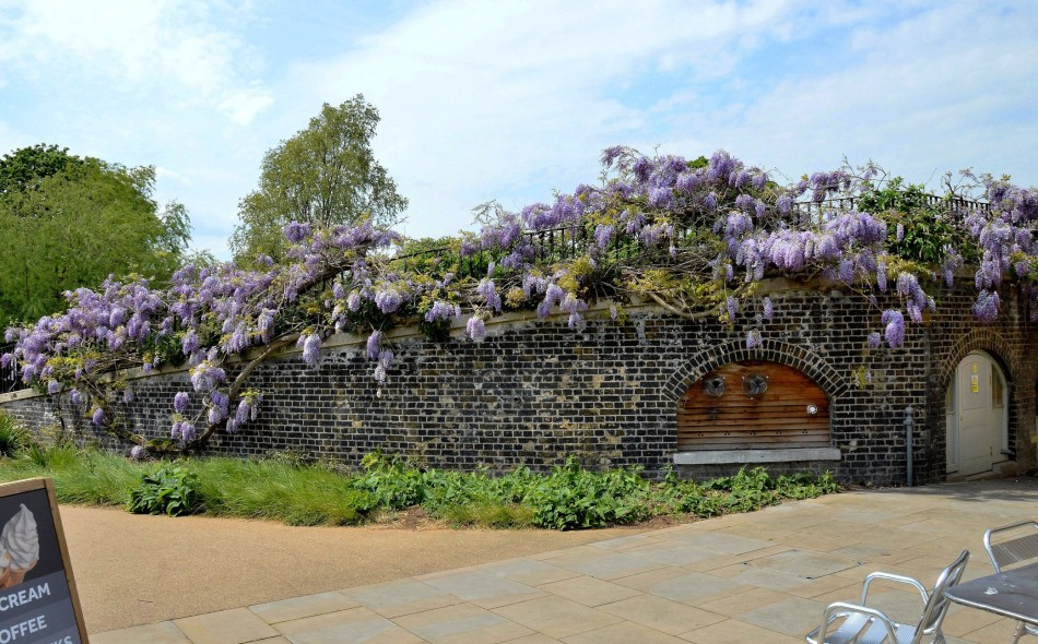 Clissold Park Wisteria at Cafe
