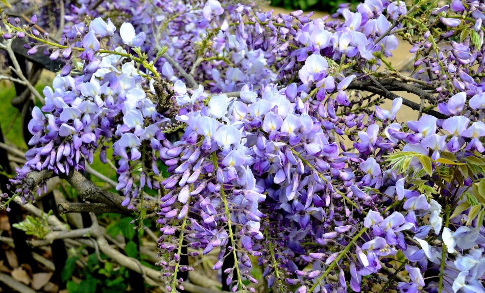 Clissold Park Wisteria Close Up