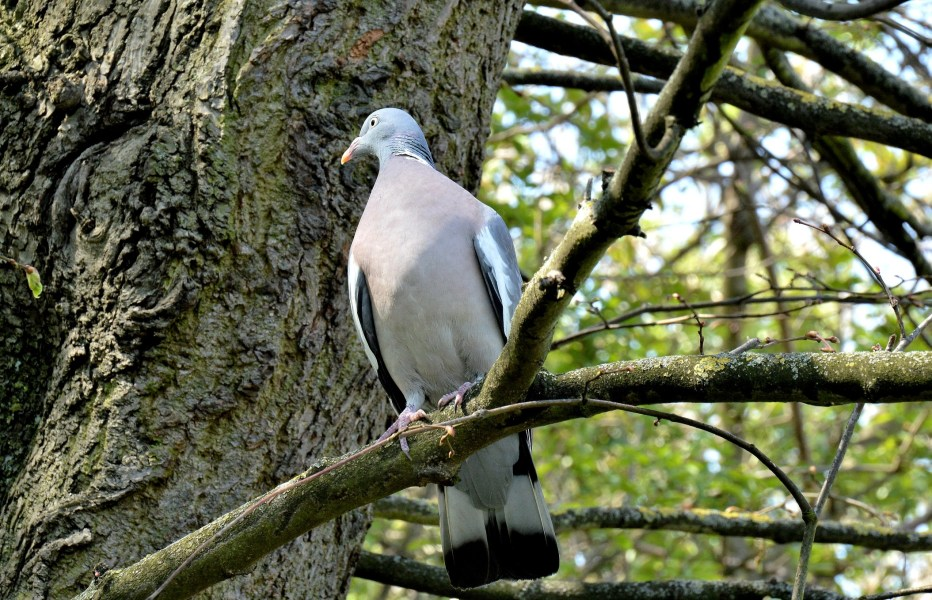 New River Wood Pigeon
