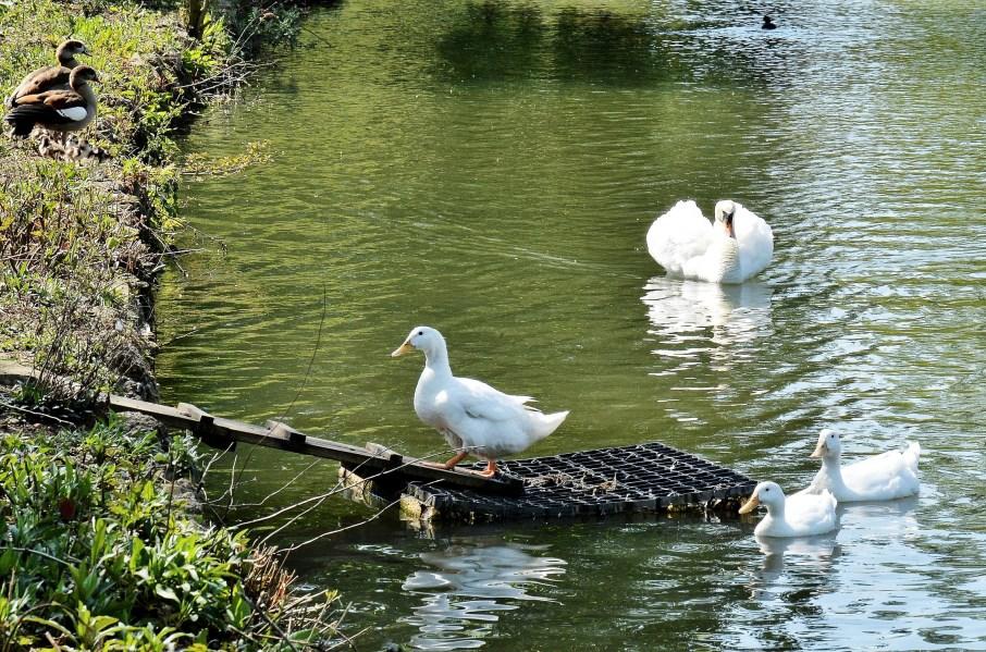 White Duck Family DSC_3589