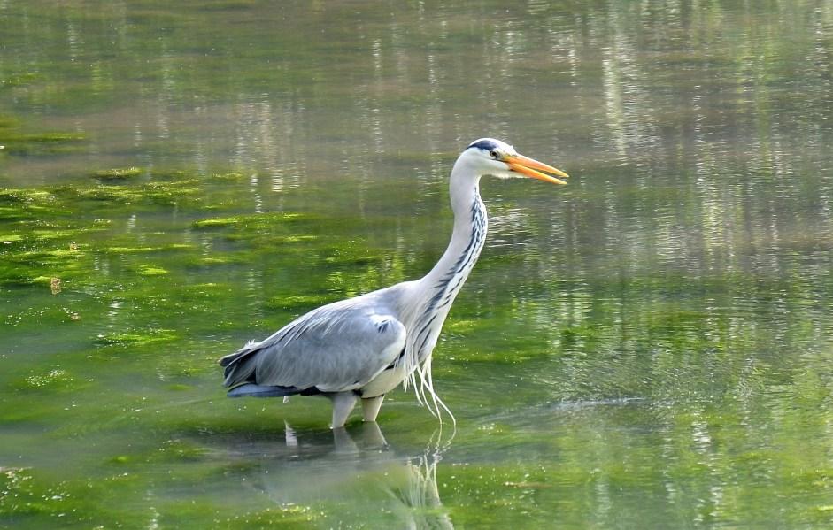 Crystal Palace Park Heron