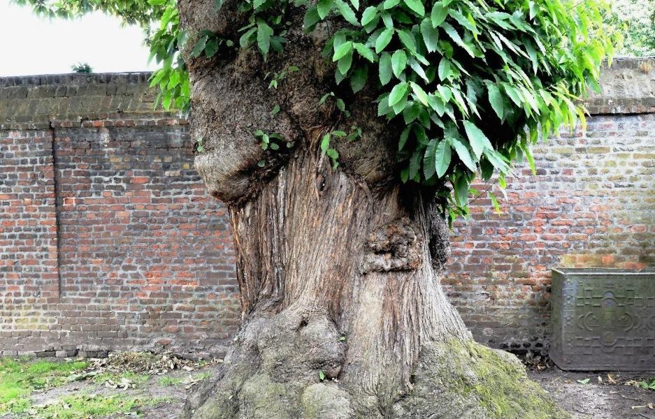 Ham House Oak Tree with Eye