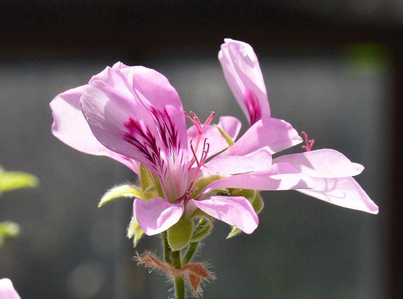 Chelsea Physic Garden Flower Pelargonium Rosa DSC_6569