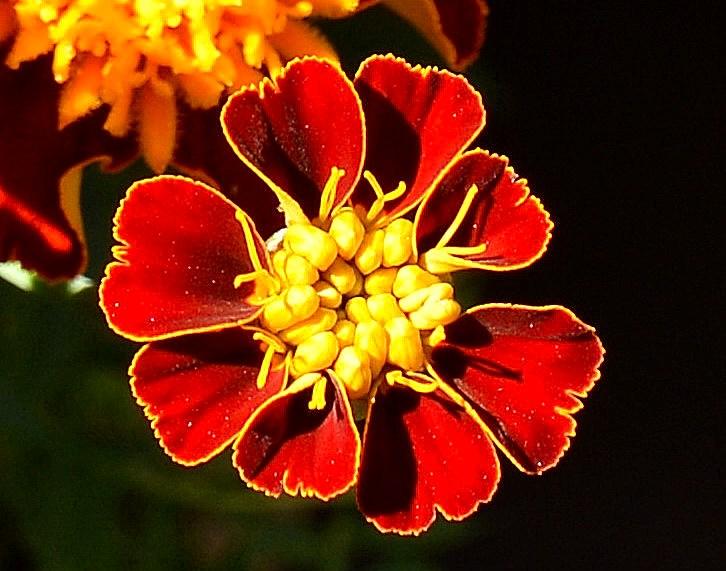Chelsea Physic Garden Flowers DSC_6608