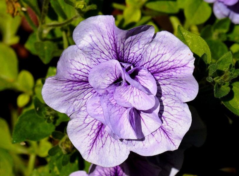 Chelsea Physic Garden Flowers DSC_6622